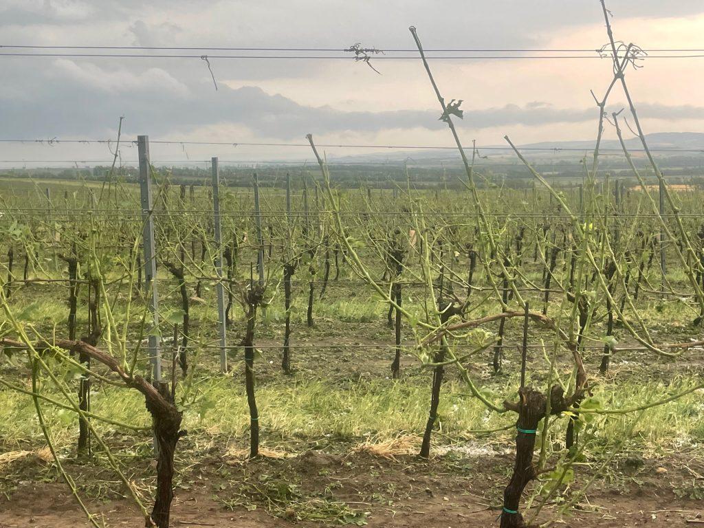 Hagelschaden an Wein in Mailberg (NÖ) am 24.06.2021