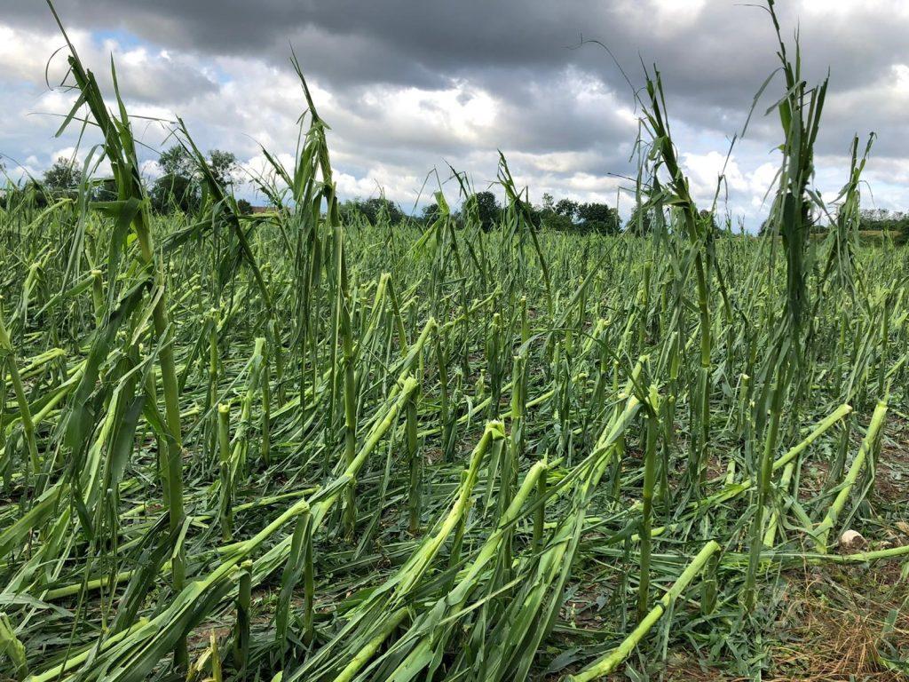 Durch Hagel geschädigter Mais in Marchtrenk am 29.06.2021
