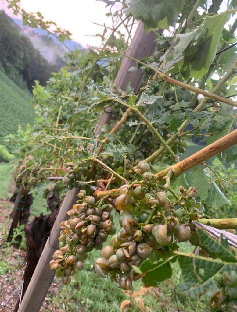 Hagel an Wein in Leutschach (Stmk) am 15.8.2021